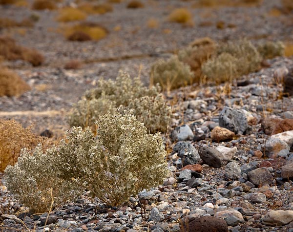 holly plant in Death Valley