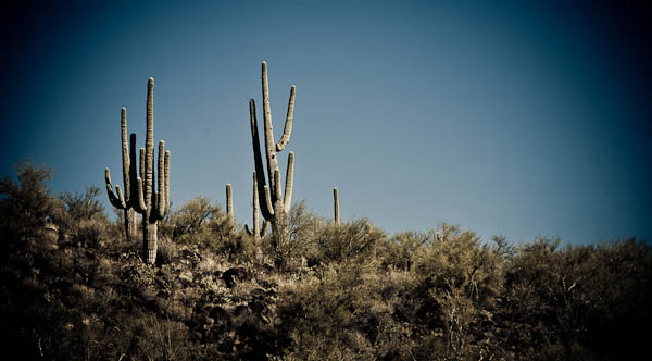 cacti in Arizona desert