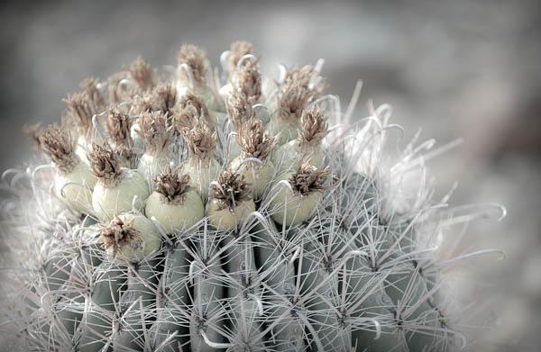Cactus flowers desert museum