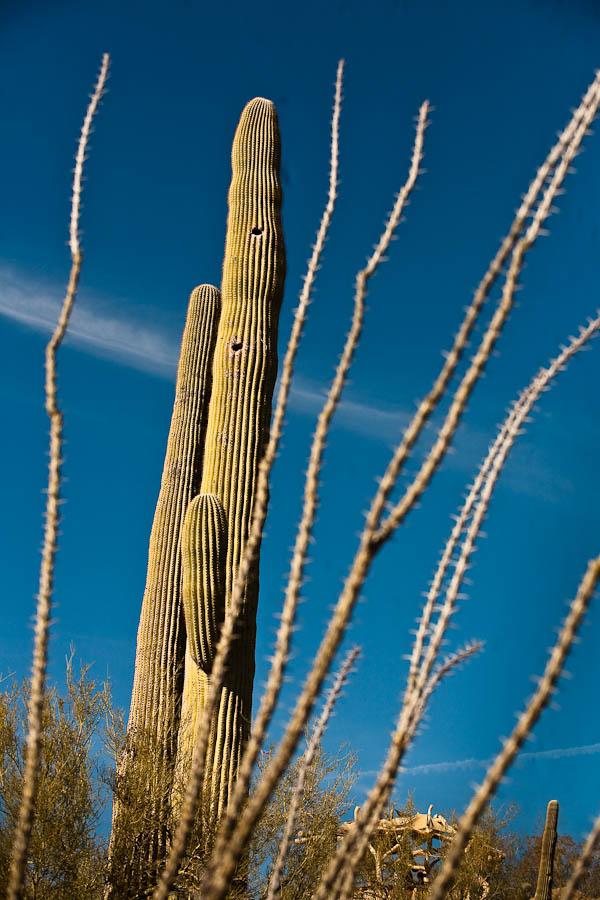 Saguaro cactus national park arizona