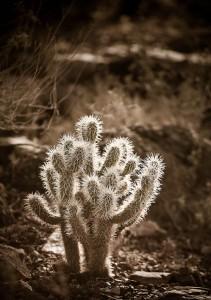 cactus arizona desert museum tucson