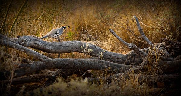 quail tucson arizona