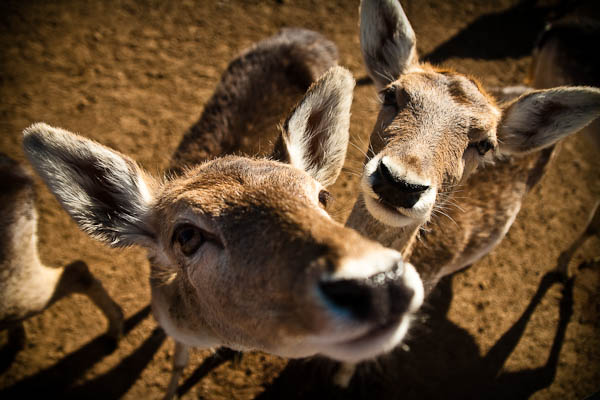 Rooster Cogburn Ostrich Farm Deer