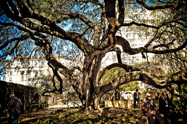 old tree in the alamo courtyard