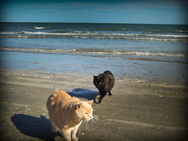 my cats pumpkin and boo on the beach of padre island