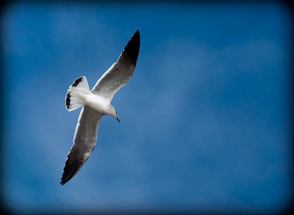 Seagull in Rockport
