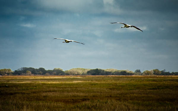 whooping cranes in flight