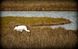 Whooping Crane on Matagorda Island