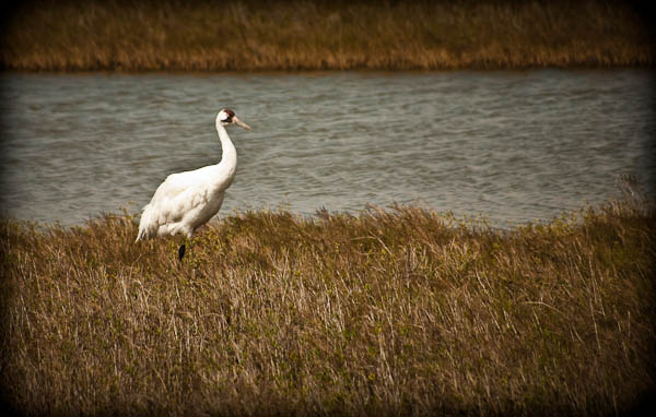Whooping Cranes from Tour in Rockport