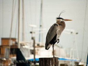 Blue Heron in Rockport