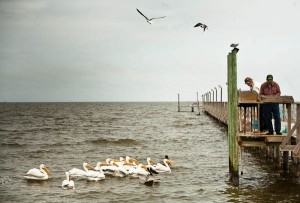 pelicans off pier at Fulton Texas