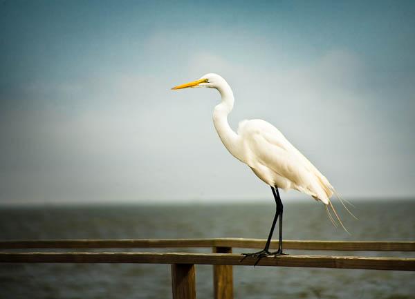 Texas Egret