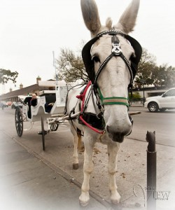Mule buggy, French Quarter